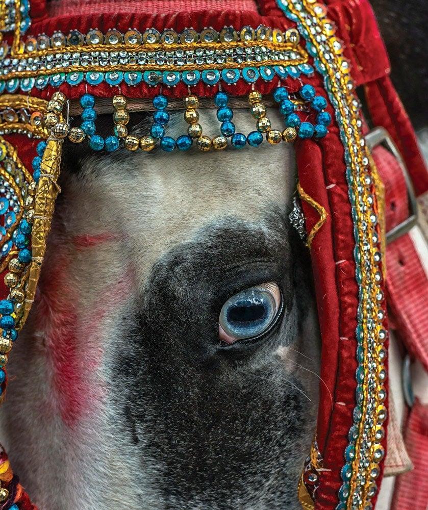 Marwari, The Horse Of India - Paula Da Silva - Crowdbooks